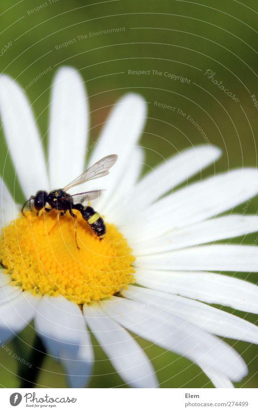 Bruchlandung auf Gänseblümchen schön Pflanze Blume Tier Flügel Biene