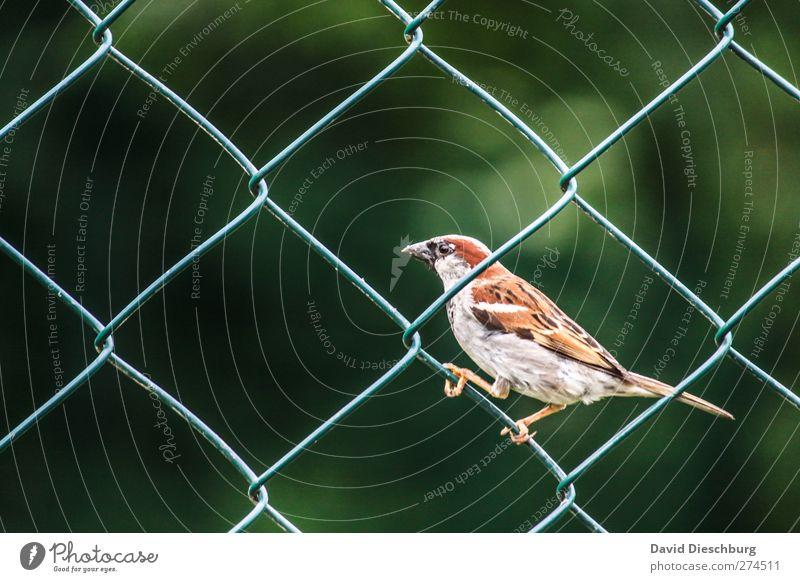 Zaungast II Natur Tier Wildtier Tiergesicht Flügel Krallen 1 braun grau grün schwarz Spatz Vogel festhalten Maschendrahtzaun Gitternetz Schnabel Feder sitzen