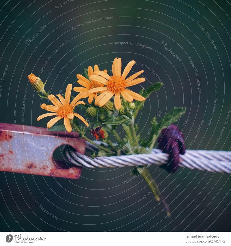 gelbe Blumen Pflanze Blütenblatt Garten geblümt Natur Dekoration & Verzierung romantisch Beautyfotografie Zerbrechlichkeit Hintergrund Frühling Sommer Winter