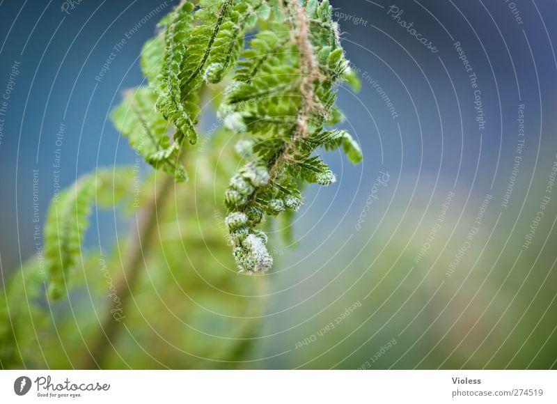 ...lass den kopf nicht hängen Natur grün Pflanze Wachstum hängen Farn entfalten
