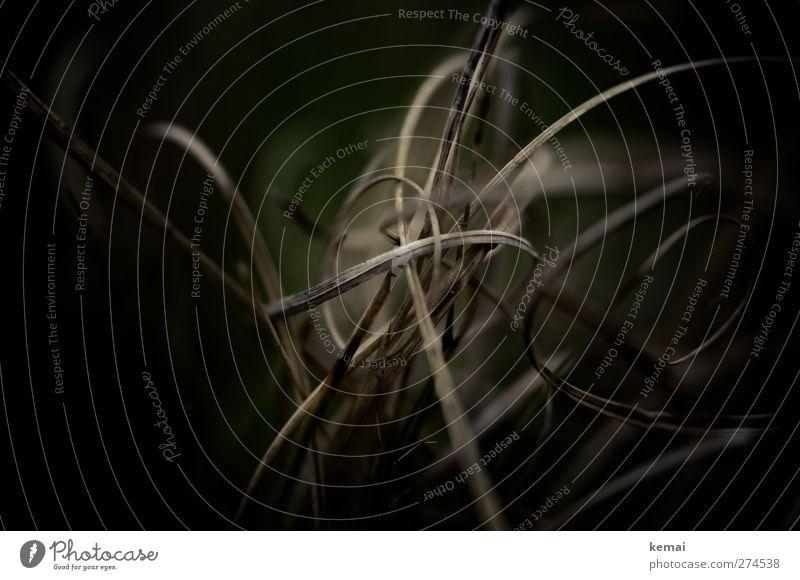 Hiddensee | Terrorgras Natur Pflanze schwarz Umwelt dunkel Frühling Gras braun Wachstum trocken Halm durcheinander Spirale Windung Grünpflanze verdorrt