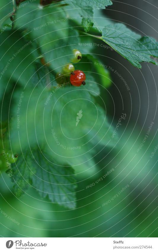 Farbtupfer Natur grün Sommer Blatt Garten Frucht Sträucher Beginn rund Wandel & Veränderung neu lecker Beeren reif Vitamin saftig