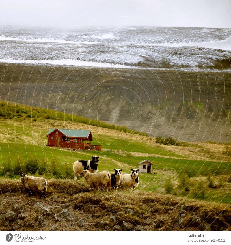 Island Umwelt Natur Landschaft Felsen Berge u. Gebirge Schneebedeckte Gipfel Haus Hütte Tier Nutztier Schaf Tiergruppe Tierfamilie Kitsch natürlich Neugier
