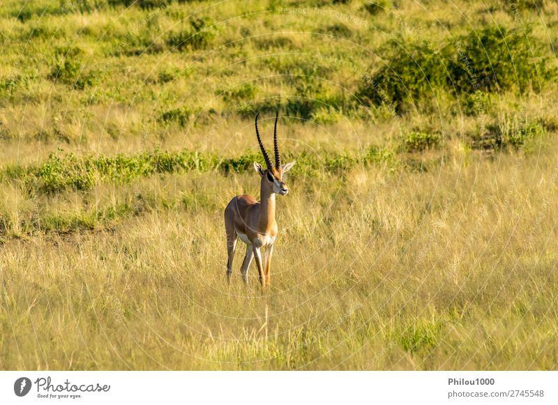 Antilope im Profil in der Savanne gesehen schön Safari Frau Erwachsene Mann Natur Tier Park natürlich wild Samburu Afrika Afrikanisch Antilopen Fauna Gazellen