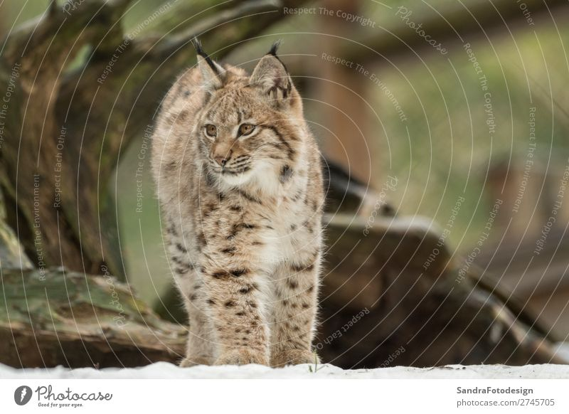 A young lynx is attentively in the forest Natur Tier Wildtier Zoo 1 Gefühle Glück selbstbewußt adorable animal autumn bavaria bavarian beautiful big cats breed