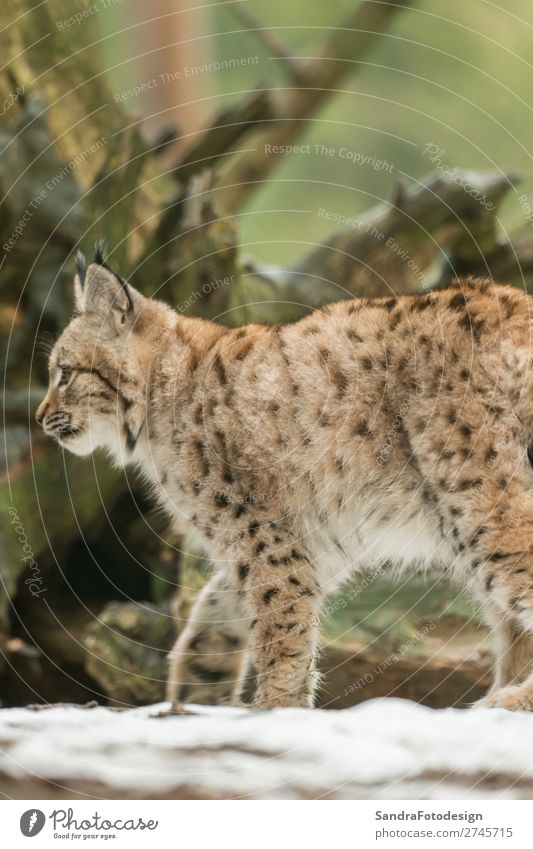 A young lynx is attentively in the forest Natur Tier Wildtier Zoo 1 Gefühle Lebensfreude adorable animal autumn bavaria bavarian beautiful big cats breed case