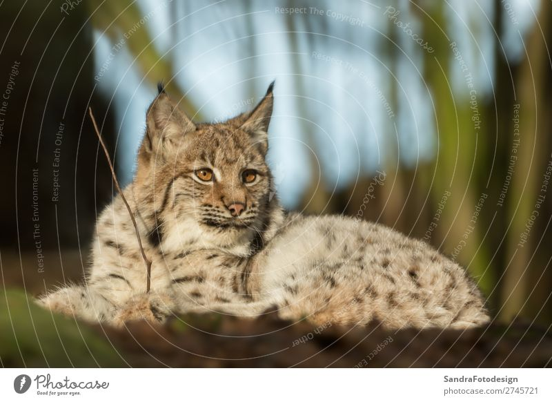 A young lynx is attentively in the forest Natur Tier Wildtier Zoo 1 Zufriedenheit Lebensfreude adorable animal autumn bavaria bavarian beautiful big cats breed