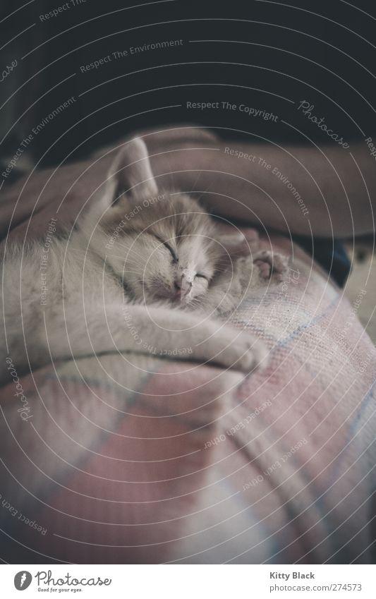 Kuschelkatze Katze weiß Tier klein Tierjunges Zufriedenheit liegen rosa schlafen Vertrauen Müdigkeit Haustier