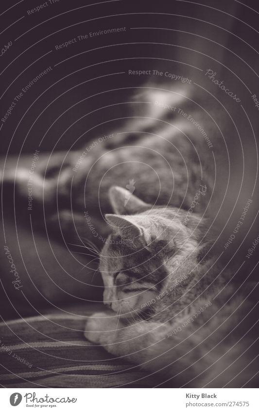 katze die schläft und lacht Katze Tier ruhig feminin Glück Zusammensein Zufriedenheit liegen schlafen niedlich Fell Gelassenheit Tierfamilie