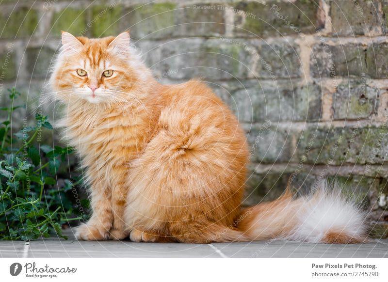 Eine Katze an einer Ziegelwand Pflanze Blume Gras Sträucher Mauer Wand Garten Tier Haustier Tiergesicht Fell Pfote 1 sitzen schön einzigartig kuschlig niedlich