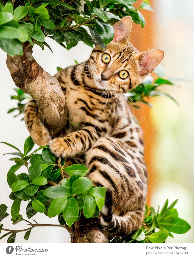 Ein bengalisches Kätzchen in einem Baum Pflanze Blatt Grünpflanze Tier Katze Tiergesicht Fell Krallen Pfote 1 Tierjunges hängen sitzen gelb gold grün orange