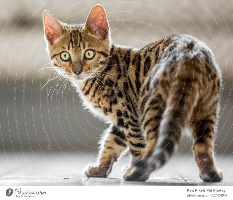 Bengalisches Kätzchen schaut in die Kamera. Tier Haustier Katze Tiergesicht Fell Pfote 1 Tierjunges Blick stehen schön einzigartig kuschlig Neugier niedlich