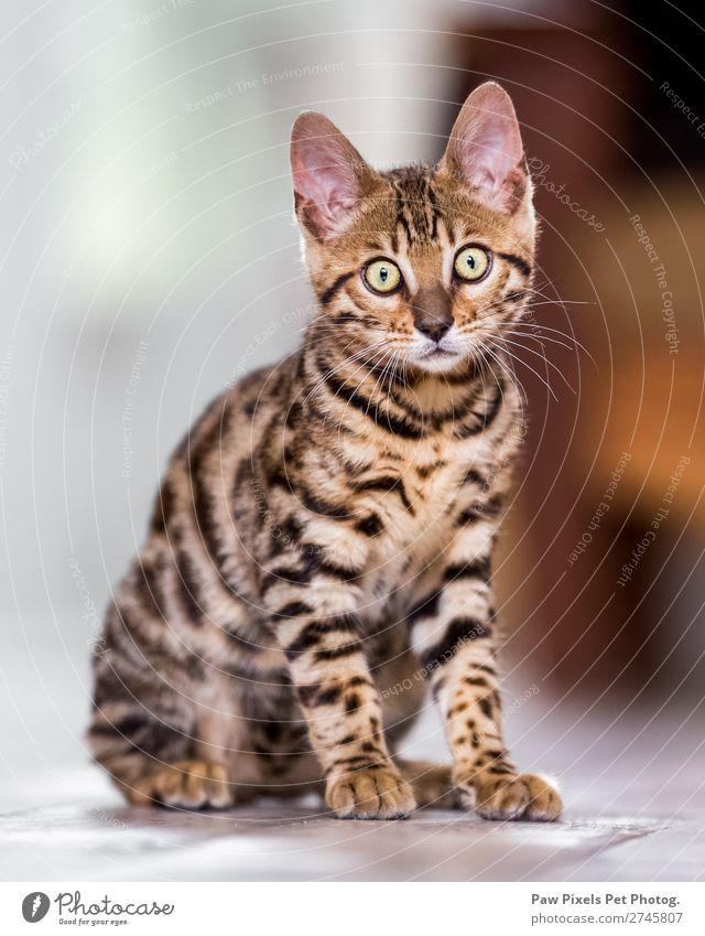 Ein bengalisches Kätzchen, das in die Kamera schaut. Tier Katze Tiergesicht Fell Pfote 1 Tierjunges Jagd sitzen stehen kuschlig Neugier niedlich braun gelb gold