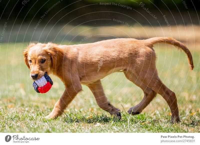 Hund mit einem Ball Frühling Sommer Pflanze Baum Blume Gras Sträucher Garten Park Wiese Feld Tier Tiergesicht Fell Pfote 1 Tierjunges laufen rennen tragen