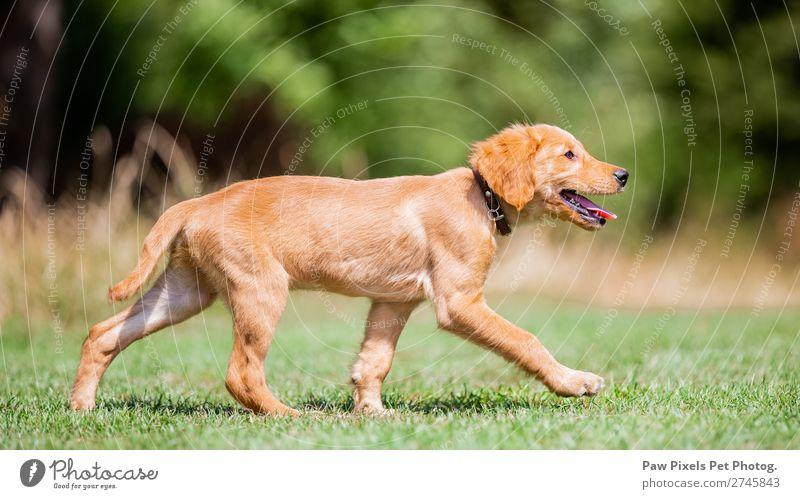 Welpenhund im Park. Tier Haustier Tiergesicht Fell Pfote 1 Tierjunges laufen rennen gelb gold grau orange rosa Freude Fröhlichkeit Neugier Golden Retriever