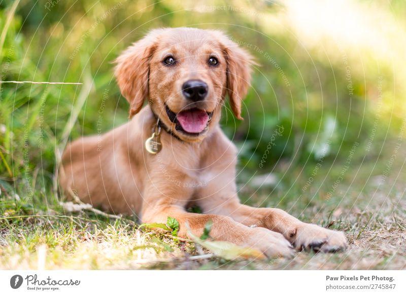 Ein Welpe, der im langen Gras liegt. Ein Golden Retriever Welpe. Tier Haustier Hund Tiergesicht Pfote 1 Tierjunges schön gelb gold grün orange rosa Gefühle