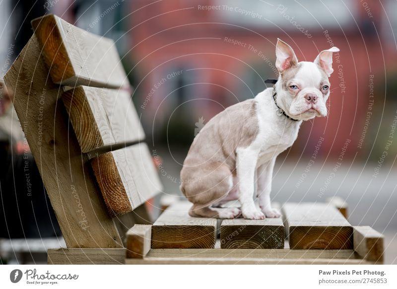 Hund schön weiß Tier Tierjunges Holz braun Kommunizieren sitzen Haustier Fell Fressen Tiergesicht