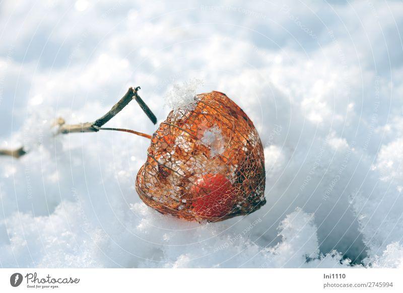 Physalis Pflanze Sonne Sonnenlicht Winter Schönes Wetter Blume Blüte Lampionblume Garten Park blau braun orange schwarz weiß Pulverschnee Schnee Gitternetz