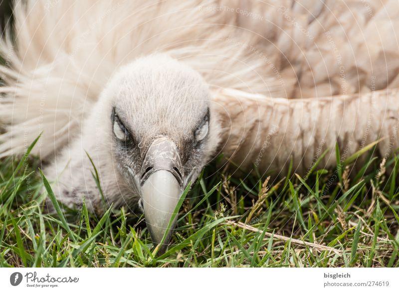 Augenblick IV Zoo Tier Vogel Geier Feder Schnabel 1 liegen Blick braun grün weiß Wachsamkeit bedrohlich Farbfoto Außenaufnahme Menschenleer Tag Tierporträt