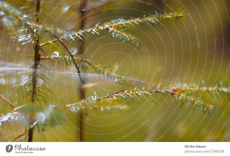 Zarte Tannenzweige im Wald Schwache Tiefenschärfe Hintergrund neutral Menschenleer Makroaufnahme Detailaufnahme Nahaufnahme Außenaufnahme natürlich Unschärfe