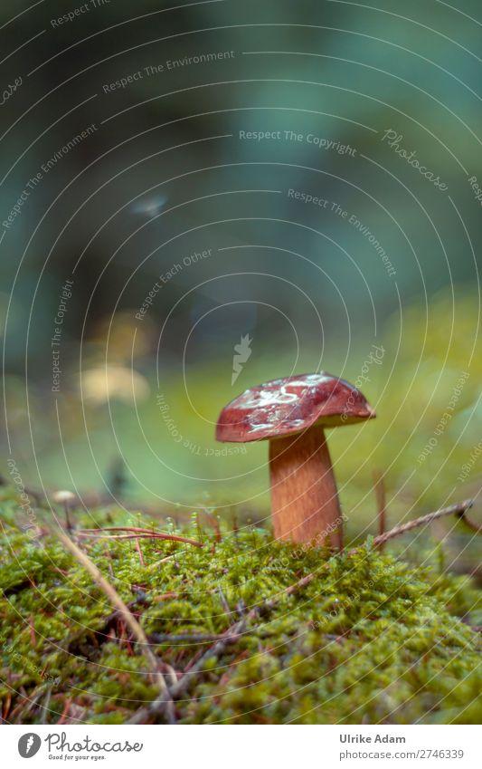 Steinpilz - Natur Pflanze grün Wald Herbst braun wild frisch Wachstum weich Pilz Moos Waldboden Steinpilze Waldpflanze