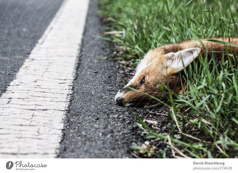 Hoffentlich ging es schnell... weiß grün Tier Straße Auge Tod Gras Wege & Pfade grau Traurigkeit Wildtier Ohr Fell Tiergesicht Verkehrswege Unfall