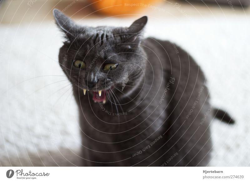 Vampirkatze Raum Wohnzimmer Tier Haustier Katze Tiergesicht 1 bedrohlich gruselig lustig verrückt Farbfoto Innenaufnahme Menschenleer Tag Starke Tiefenschärfe