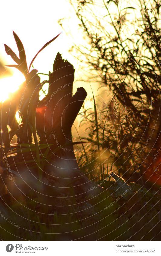 Sommerabend Natur Pflanze Sonne Sonnenaufgang Sonnenuntergang Schönes Wetter Baum Blume Sträucher Garten leuchten Wärme gold rot Stimmung Romantik exotisch