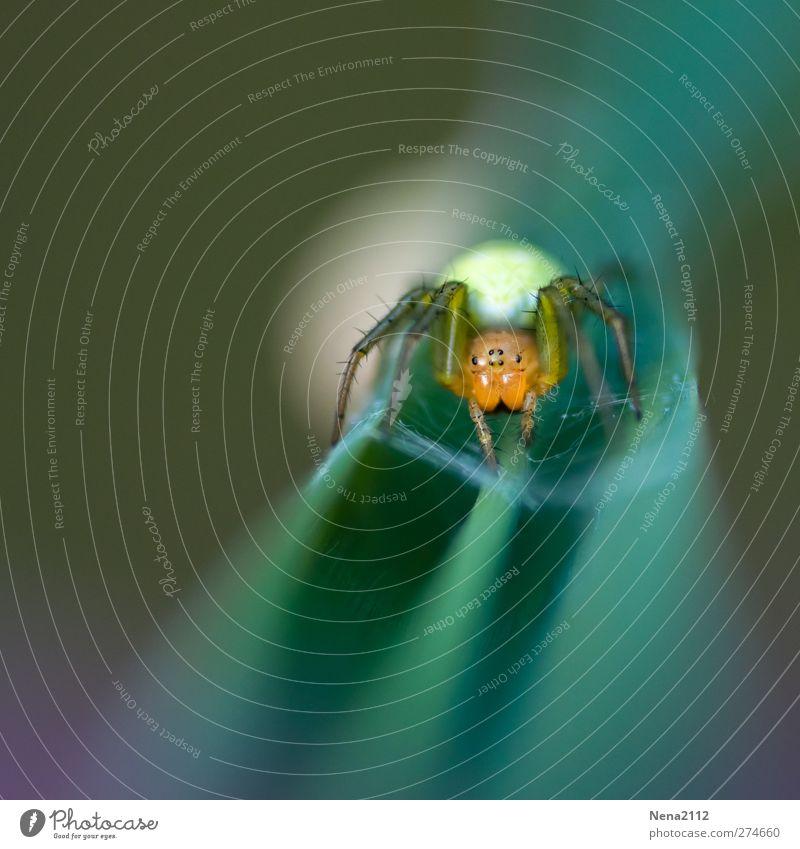 Kokonsverteidigung Natur grün Pflanze Tier Blatt Wald Wiese klein orange Angst niedlich gruselig Ei Ekel Spinne Aggression
