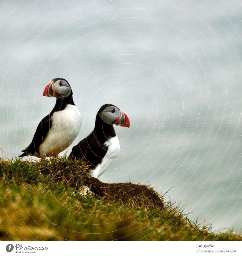 Island Natur schön Pflanze Meer Tier Umwelt Gras Küste Vogel Wildtier natürlich frei niedlich Schnabel Papageitaucher