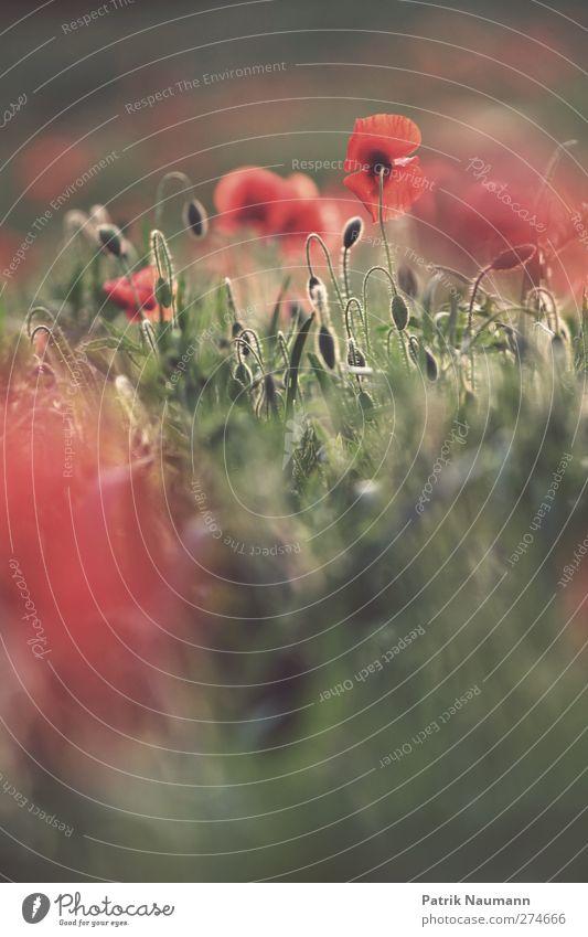 Mohnopol Umwelt Natur Pflanze Tier Sonnenaufgang Sonnenuntergang Schönes Wetter Blume Gras Blüte Nutzpflanze Wildpflanze Mohnfeld Feld berühren Blühend glänzend