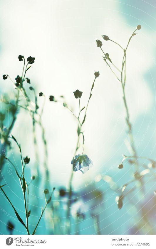 Flachs - ig Umwelt Natur Pflanze Himmel Wolken Sommer Blüte Nutzpflanze Lein Feld Blühend leuchten Wachstum blau grün türkis weiß Leinen Jute Farbfoto