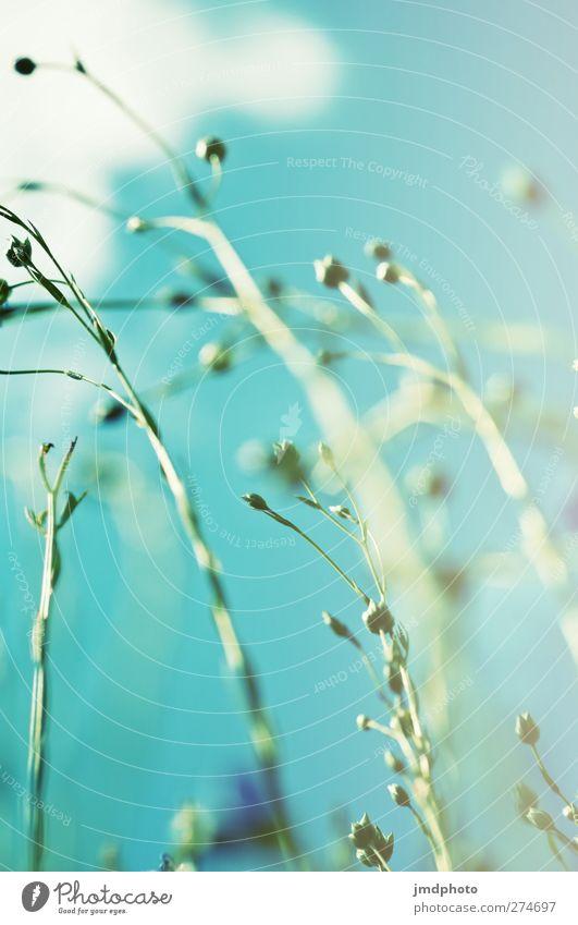 Flachs - ig Umwelt Natur Pflanze Himmel Wolken Sommer Blume Blüte Nutzpflanze Lein Feld Blühend Wachstum Duft frei oben blau grün türkis weiß Leinen Faser
