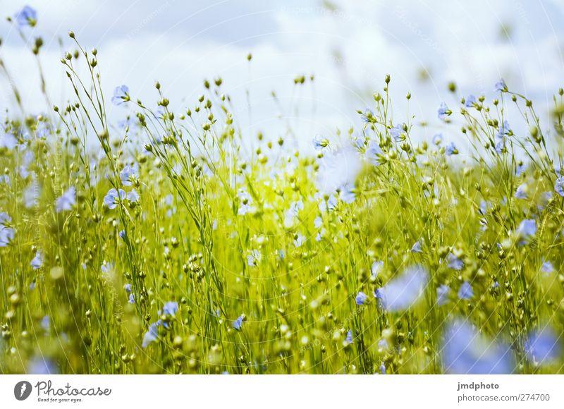 Flachs - ig Umwelt Natur Pflanze Horizont Frühling Sommer Blume Blatt Blüte Grünpflanze Nutzpflanze Lein Feld Blühend Duft leuchten verblüht Wachstum nah blau