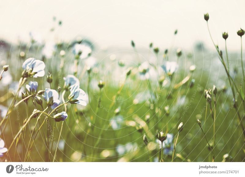 Flachs - ig Himmel Natur blau weiß grün Sommer Pflanze Blume Blatt Umwelt Frühling Gras Blüte Horizont Feld Wachstum