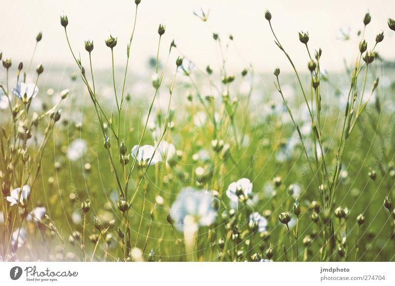Flachs - ig Himmel Natur blau weiß grün Sommer Pflanze Blume Blatt Umwelt Frühling Blüte Feld Wachstum leuchten Blühend