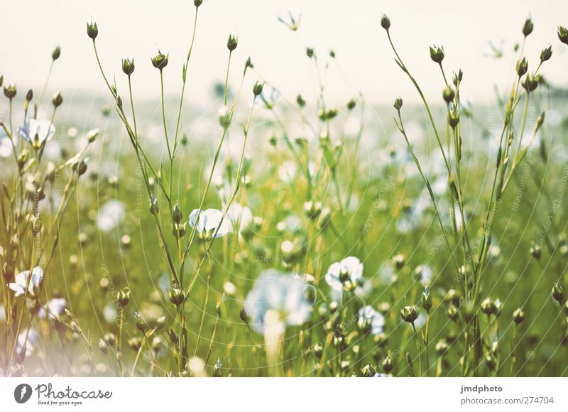 Flachs - ig Umwelt Natur Pflanze Himmel Frühling Sommer Blume Blatt Blüte Grünpflanze Nutzpflanze Feld Blühend Duft leuchten Wachstum blau grün weiß Lein Leinen