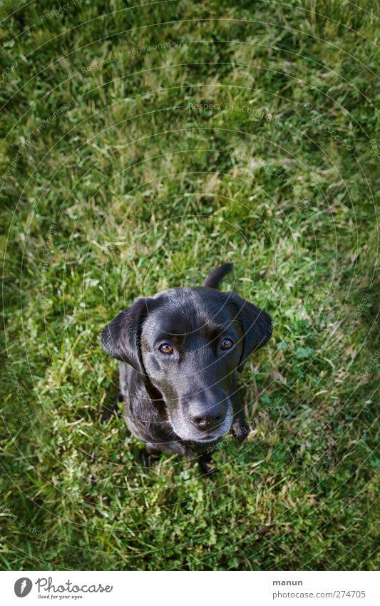 Mein Herzhund Gras Wiese Tier Hund Labrador 1 Blick sitzen Freundlichkeit natürlich Neugier Vertrauen Freundschaft Tierliebe Wachsamkeit Liebling Treue Farbfoto