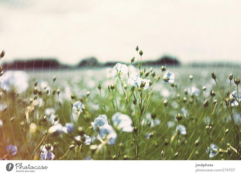 Flachs - ig Himmel Natur blau weiß grün Sommer Pflanze Blume Blatt Umwelt Frühling Gras Blüte Luft Horizont Feld