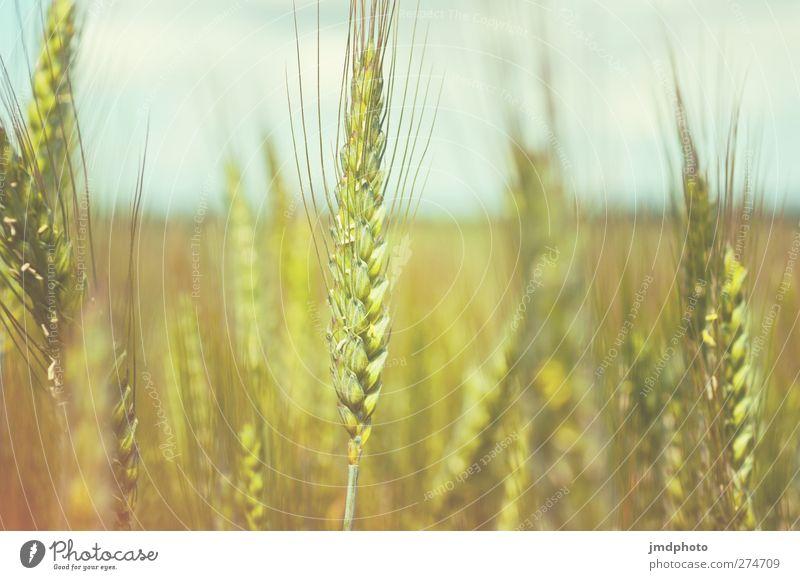 Roggen Natur Sommer Pflanze Umwelt Wachstum Getreide reif Getreidefeld Nutzpflanze Roggenfeld Roggenähren