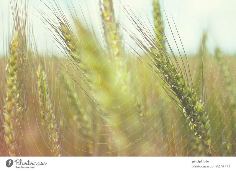Roggen Natur Pflanze gelb Umwelt braun Wachstum Getreide reif Getreidefeld Nutzpflanze Feld Unschärfe Roggenfeld Roggenähren