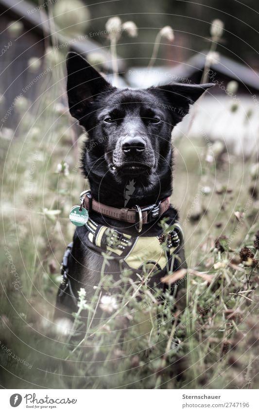 Häuptling Natur Hund Sommer Pflanze Haus Tier schwarz Holz Herbst Frühling Wiese Gras braun Wetter stehen genießen