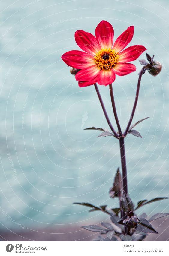 one for you Natur Pflanze Blume Blatt Blüte natürlich rot Farbfoto Außenaufnahme Nahaufnahme Menschenleer Tag Schwache Tiefenschärfe