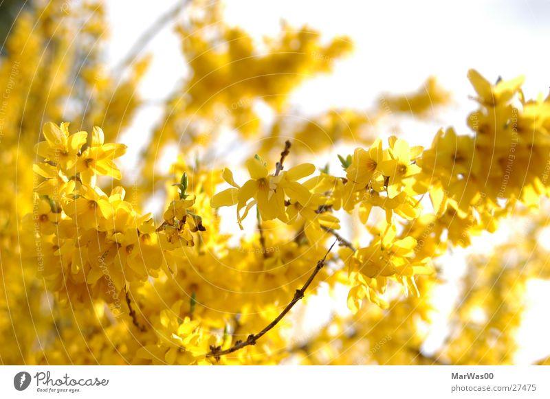 Yellow Sunshine Sonne gelb Blüte Frühling hell Sträucher Blühend Freundlichkeit Schönes Wetter Tiefenschärfe Zweig Natur Ginster
