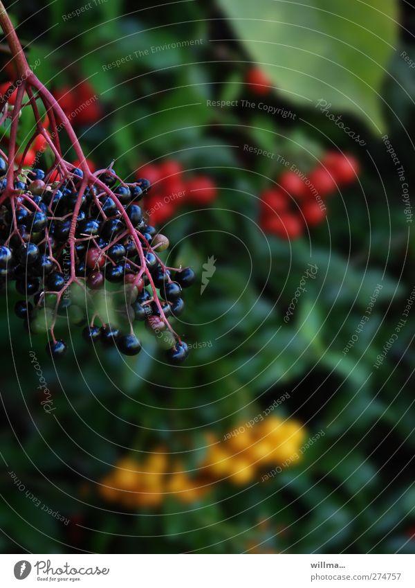 schwarz. rot. golb. Natur grün Pflanze gelb Sträucher reif Beeren Holunderbusch Beerensträucher Holunderbeeren Feuerdorn