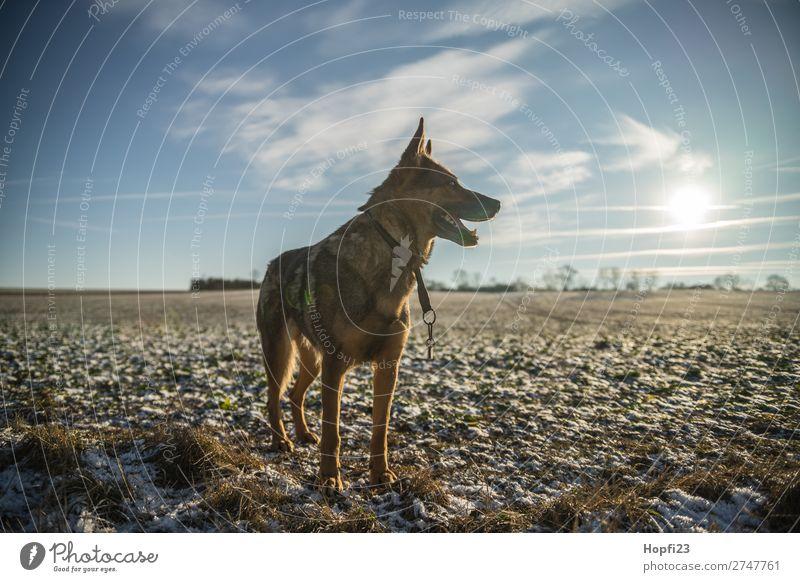 Deutscher Schäferhund Natur Landschaft Pflanze Tier Himmel Wolken Sonne Sonnenlicht Herbst Winter Schönes Wetter Schnee Gras Wiese Feld Haustier Nutztier Hund