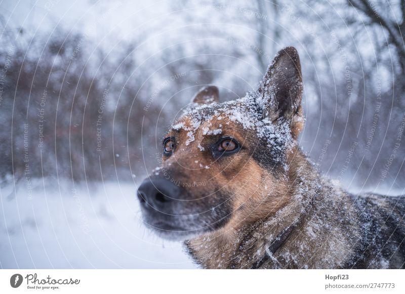 Deutscher Schäferhund im Winter Umwelt Natur Landschaft schlechtes Wetter Eis Frost Schnee Schneefall Pflanze Sträucher Wiese Tier Haustier Nutztier Hund