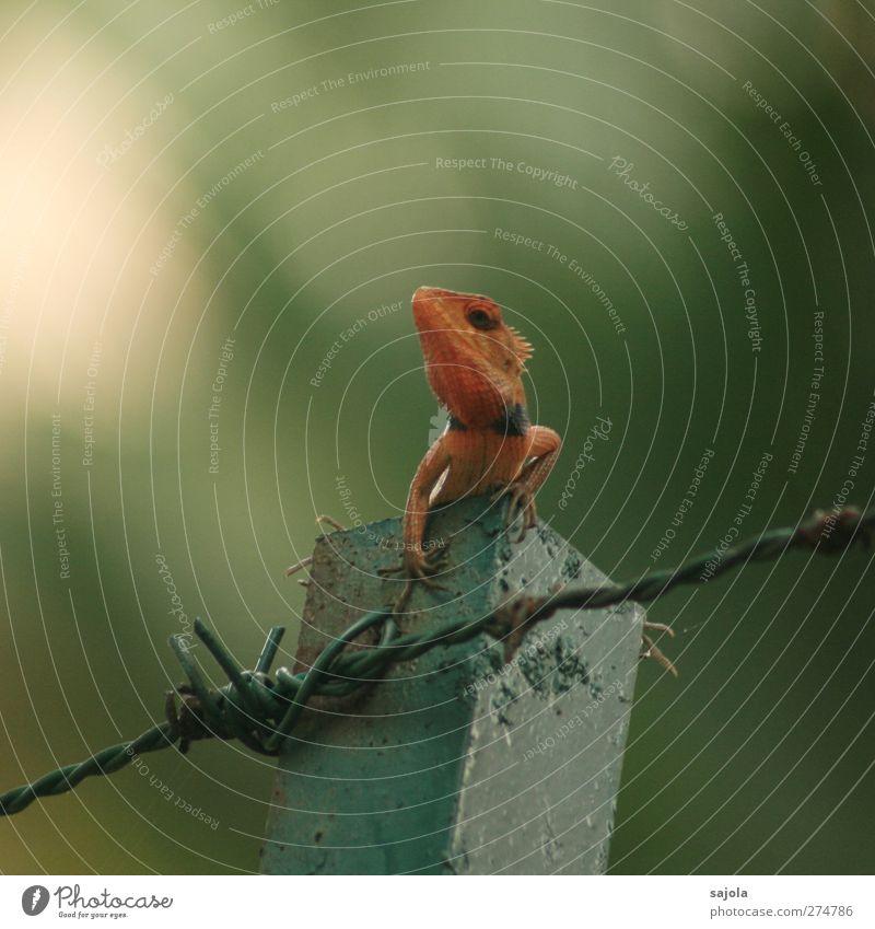 sonnenbrand? Umwelt Natur Tier Wildtier Reptil Echsen 1 beobachten festhalten Blick sitzen warten rot Stacheldraht färben Farbfoto Außenaufnahme Menschenleer