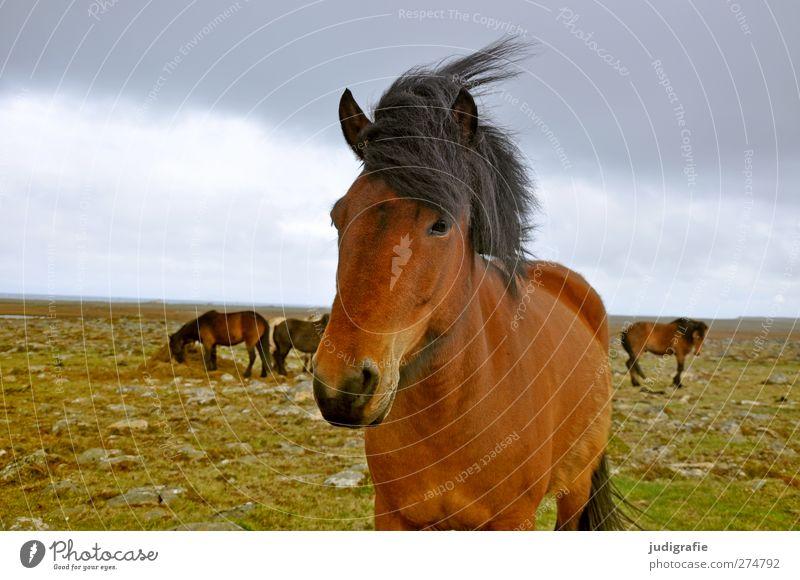 Island Umwelt Natur Landschaft Erde Himmel Wolken Wind Tier Nutztier Pferd Island Ponys 1 Tiergruppe ästhetisch Freundlichkeit natürlich Neugier schön braun
