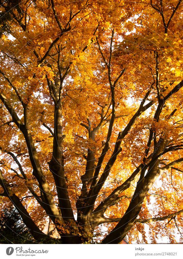 Herbst Pflanze Baum Buche Rotbuche Laubbaum Herbstlaub herbstlich Herbstfärbung groß natürlich braun gelb orange Erdton leuchtende Farben Baumkrone Ast Farbfoto